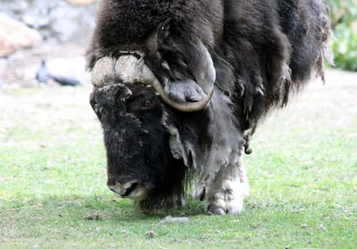 visit the musk ox farm near matanuska glacier