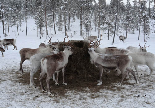 visit the reindeer farm in palmer near the matanuska glacier